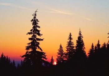 Карпатские смереки на фоне восходящего солнца