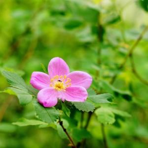 макро-съемка - цветок шиповника - дикая роза