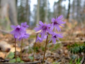 первые весенние цветы в Карпатах